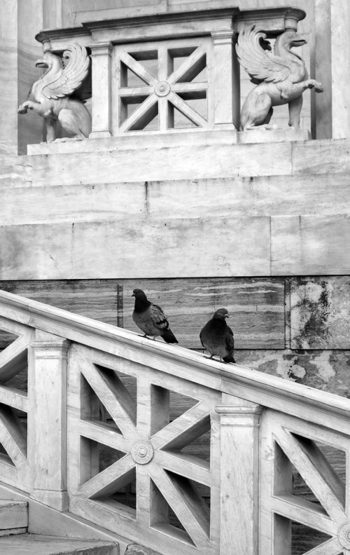 Pigeons-Griffons-National-Library-Nikos Roccos-Νίκος Ρόκκος